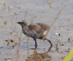 20.Purple Swamphen chick