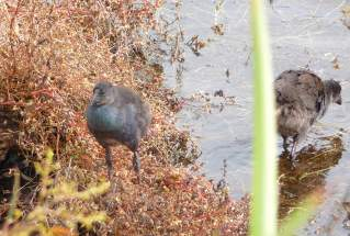 21.Purple Swamphen chick