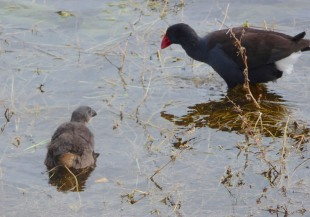 22.Purple Swamphen & chick