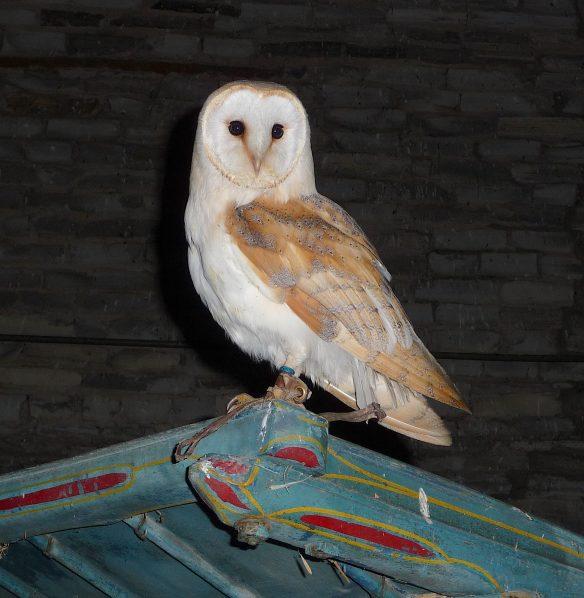 24.barn owl