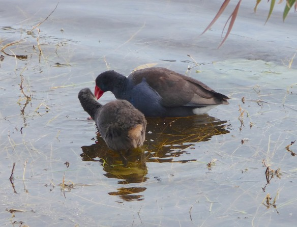 24.Purple Swamphen & chick