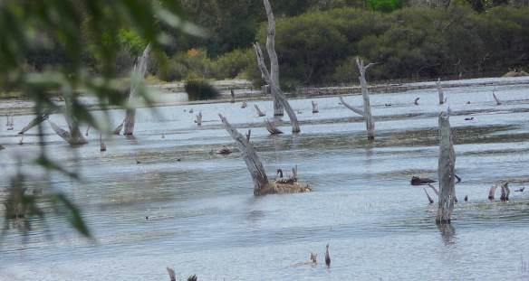 7.nesting Black Swan