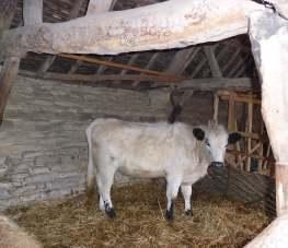 8.British White heifer