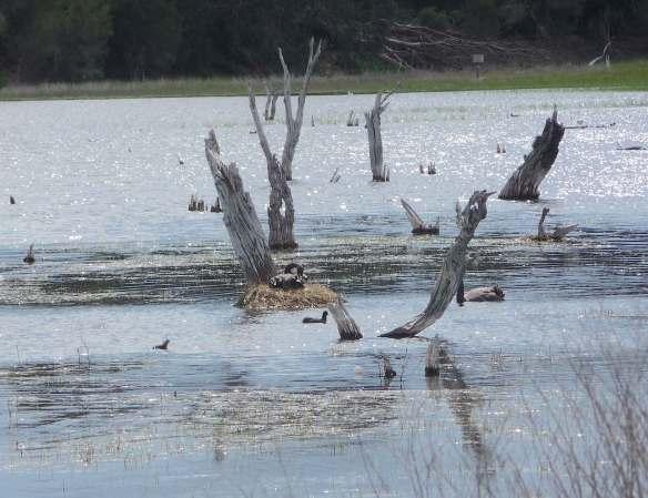 9.nesting Black Swan