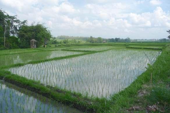 2.rice paddies