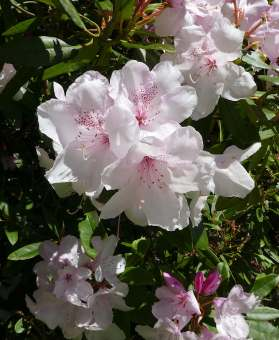 28.rhododendron