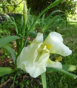 29.iris