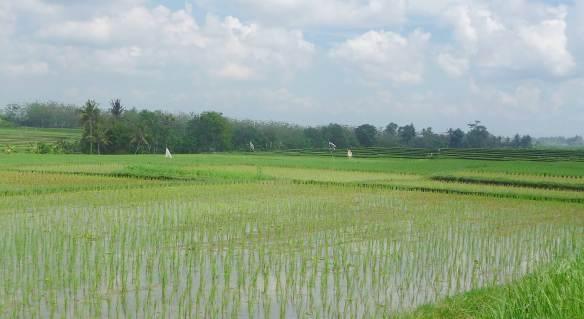 3.rice paddies