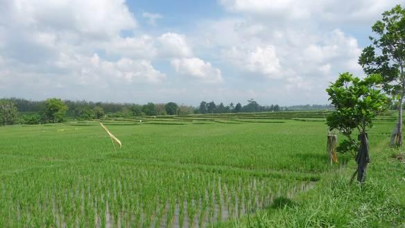 4.rice paddies