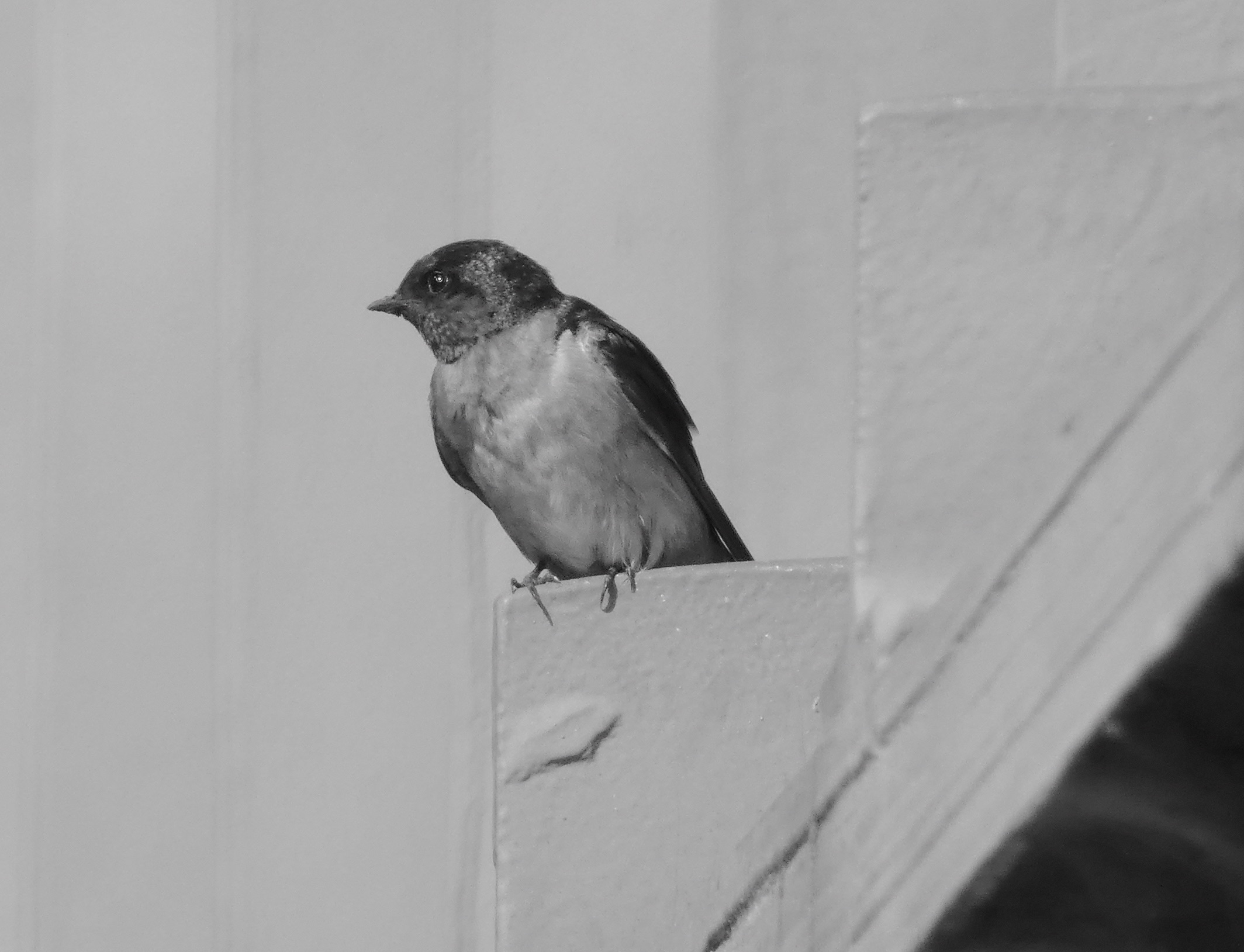 9.welcome swallow