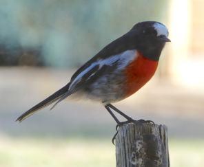 1.robin