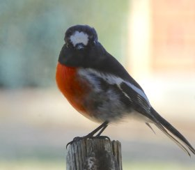 2.robin