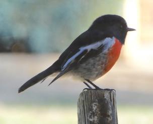 3.robin