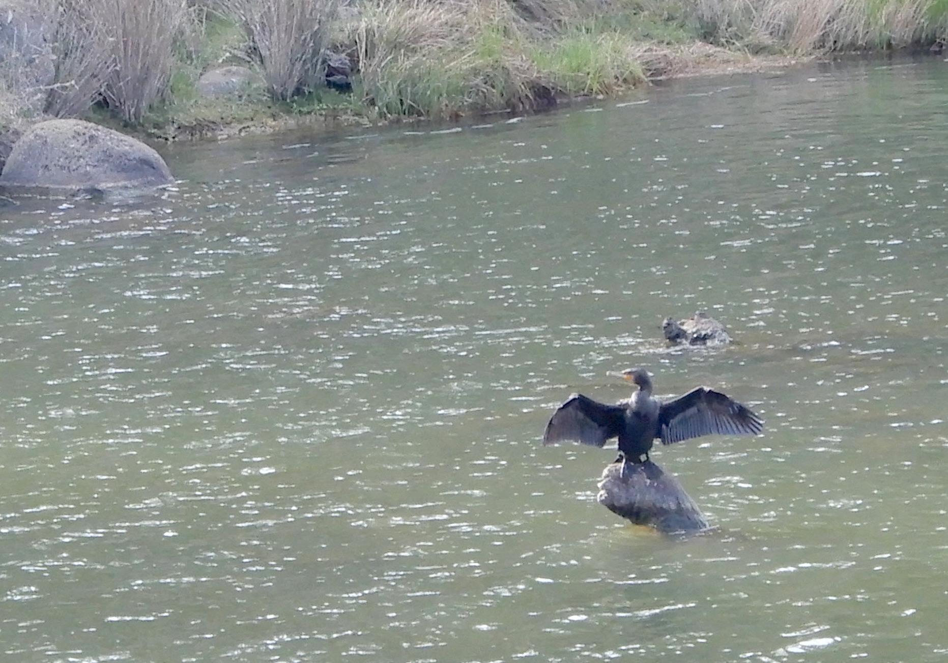 23.cormorant