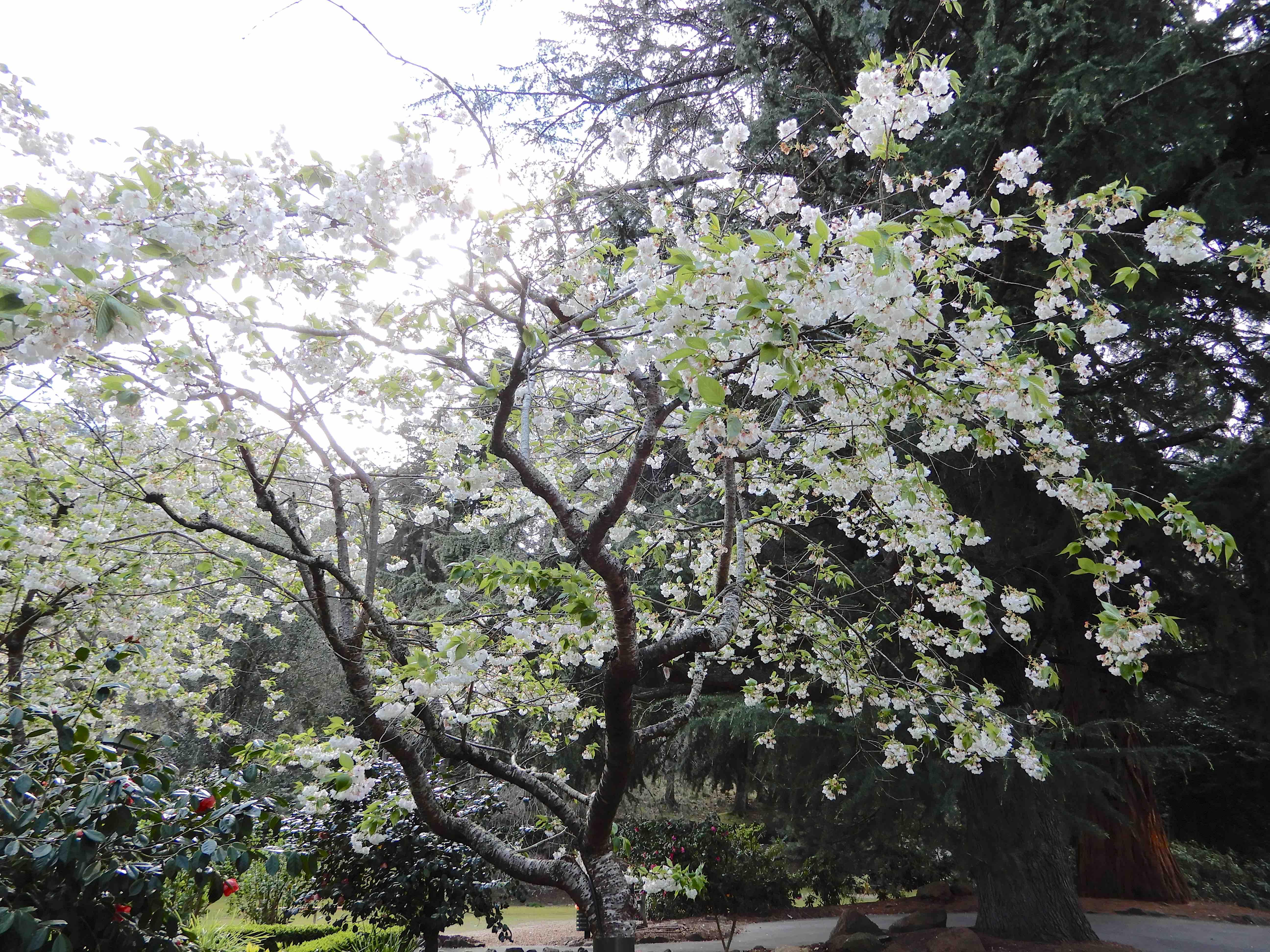 2a.Cherry blossom