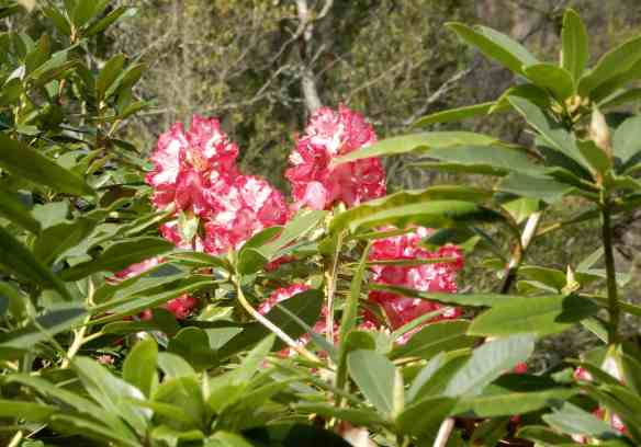 6.rhododendrons