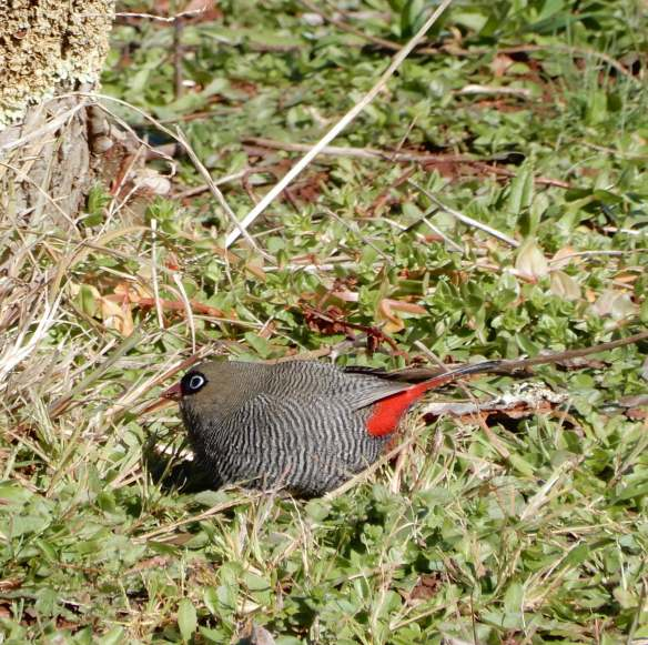 4.beautiful firetail