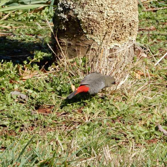 6.beautiful firetail