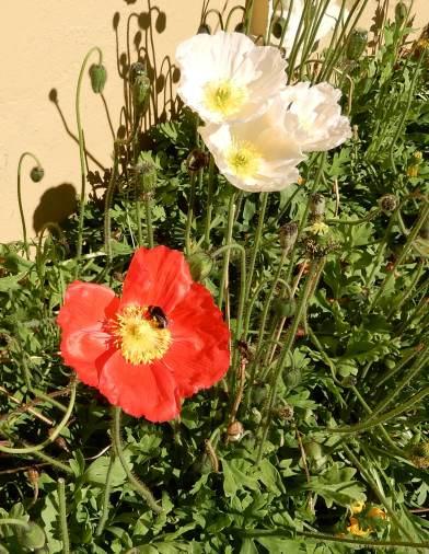 23.poppies