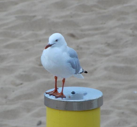 26.gull