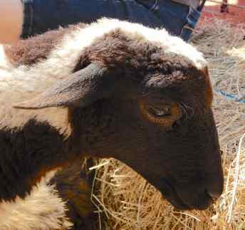 14.sheep