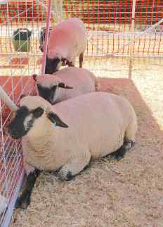 16.sheep