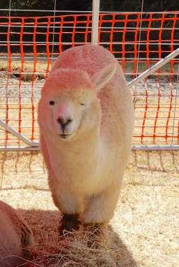 17.alpaca