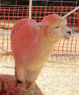 18.alpaca