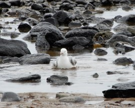 21.gull bathing