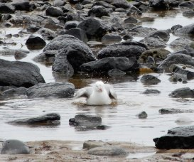 22.gull bathing