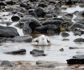 22.gull bathing