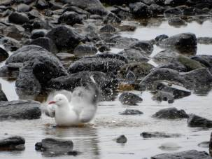 23.gull bathing