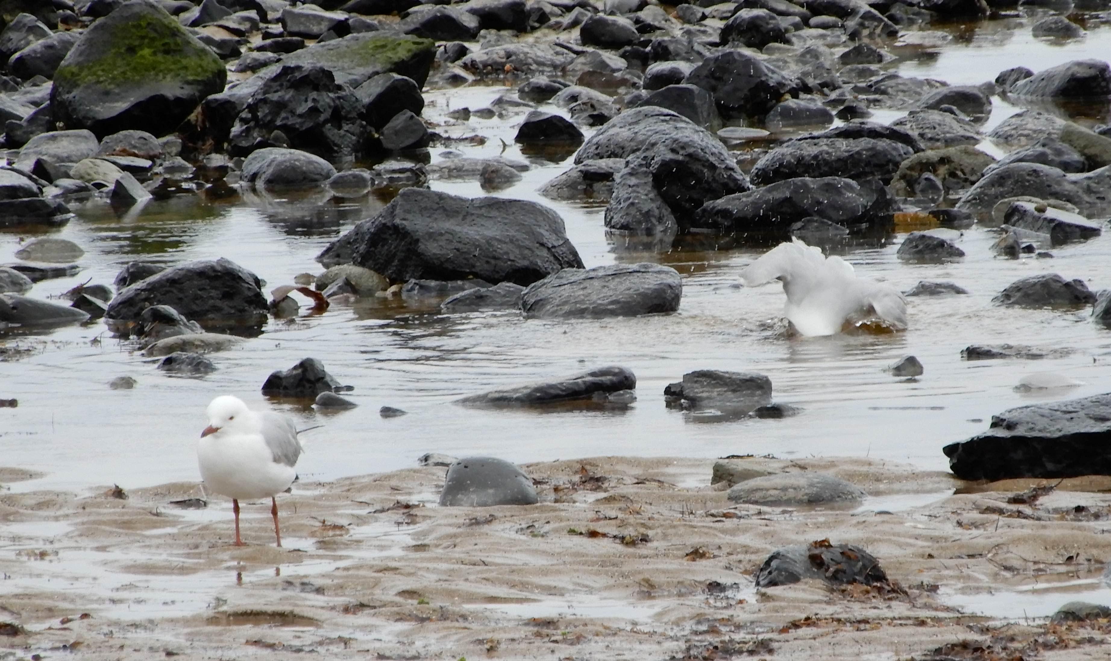 24.gulls