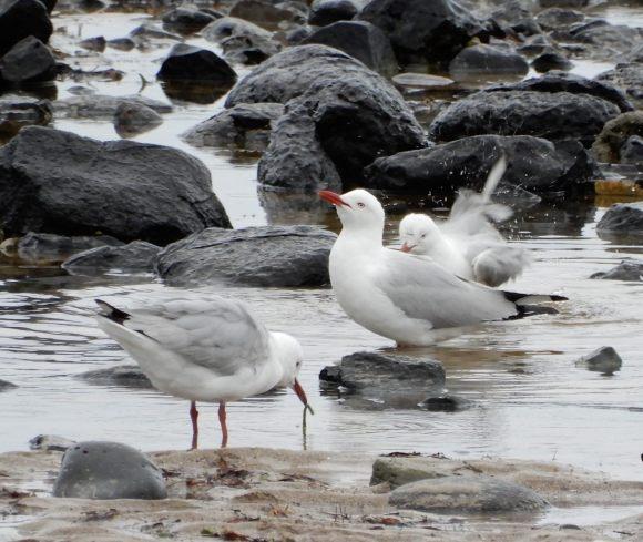 26.gulls