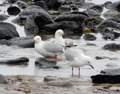 29.gulls