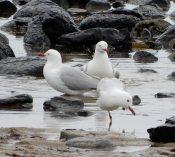 31.gulls