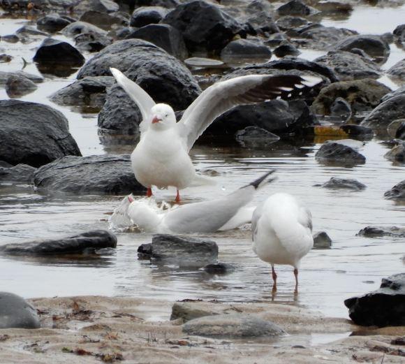 32.gulls