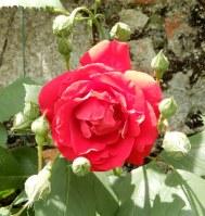 40.rose