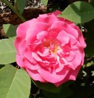 41.rose