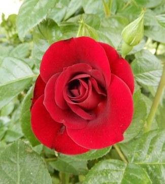 42.rose