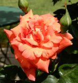 43.rose