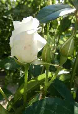 45.rose