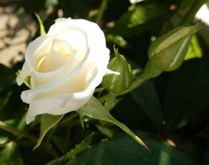 46.rose