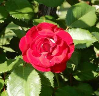 47.rose