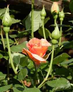 48.rose