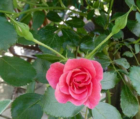 49.rose