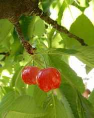 58.cherries