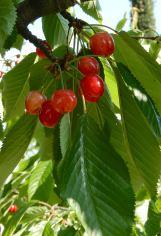 59.cherries