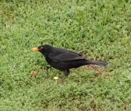 60.blackbird