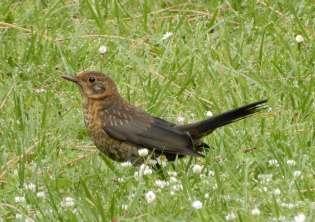 61.blackbird